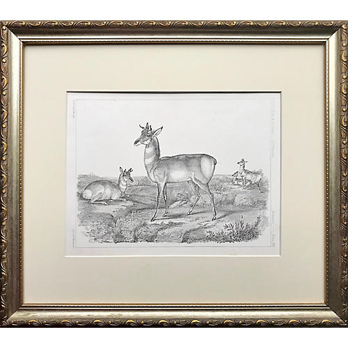 19th C. Pronghorn Antelope Lithograph