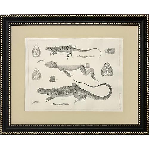 19th-C. Lizard Species Lithograph