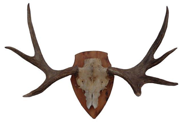 Mounted  Moose Head Rack