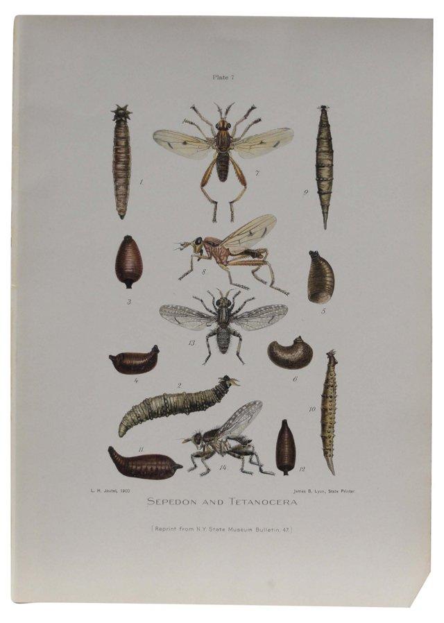 Sepedon & Tetanocera Print