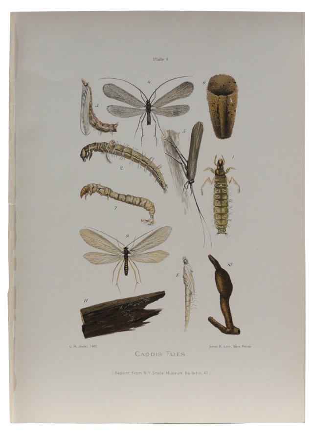 Caddis Flies Print, 1900