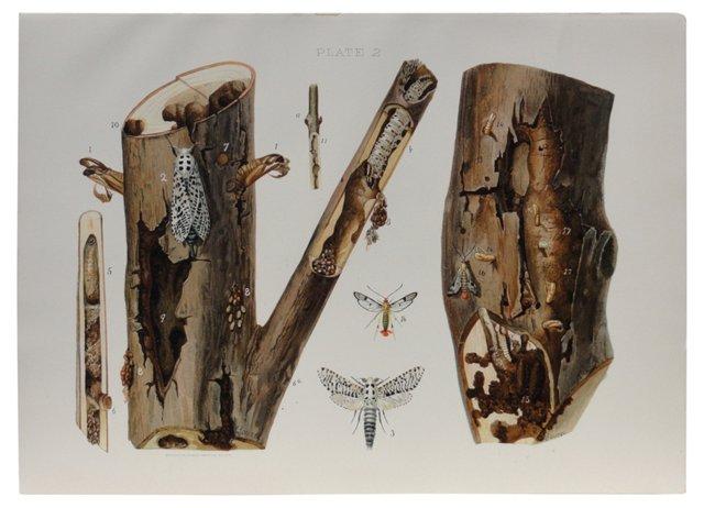 Leopard Moth & Maple Borer Print