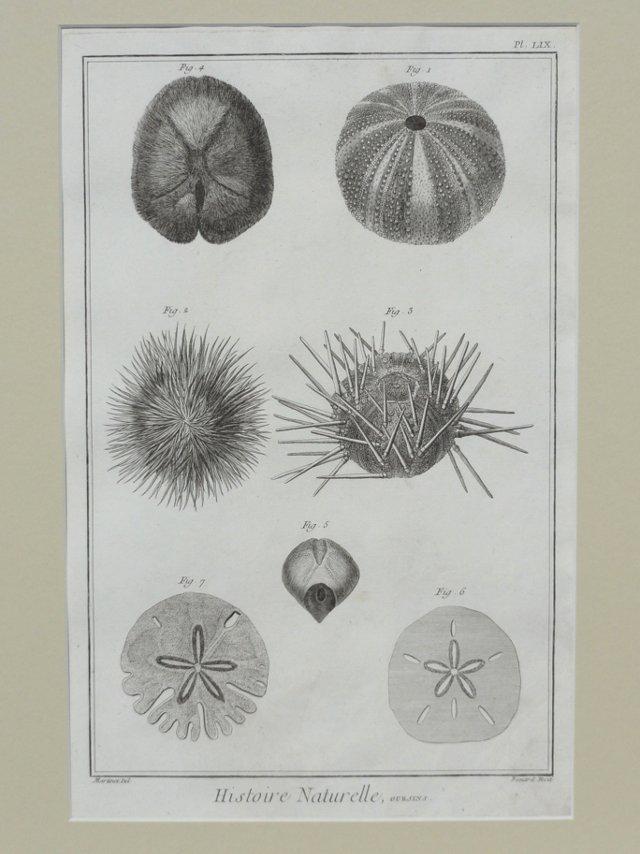 Sea Urchins & Sand Dollars