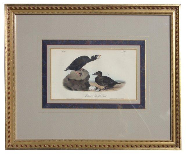 Audubon's Surf Duck, C. 1840