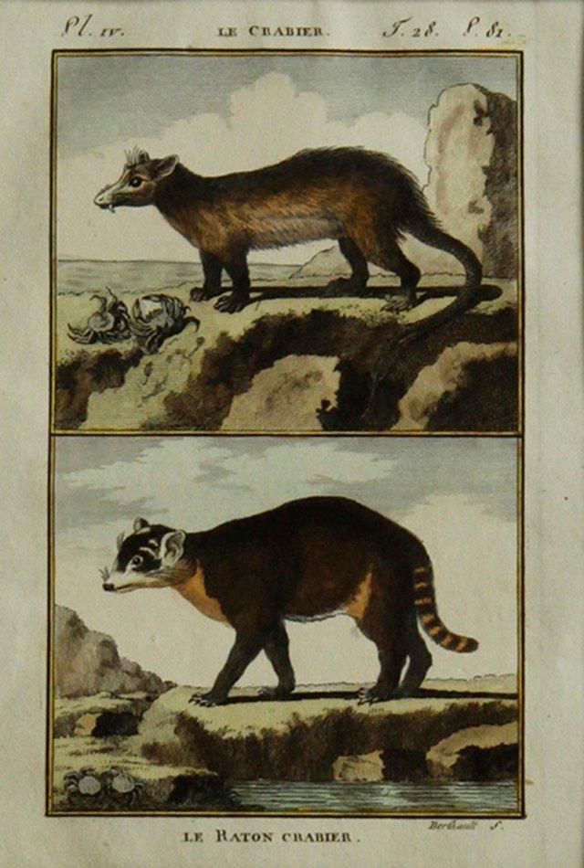 Crab-Eating Raccoon by Buffon, 1799