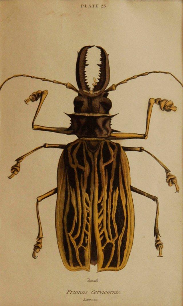 Beetle, 1843