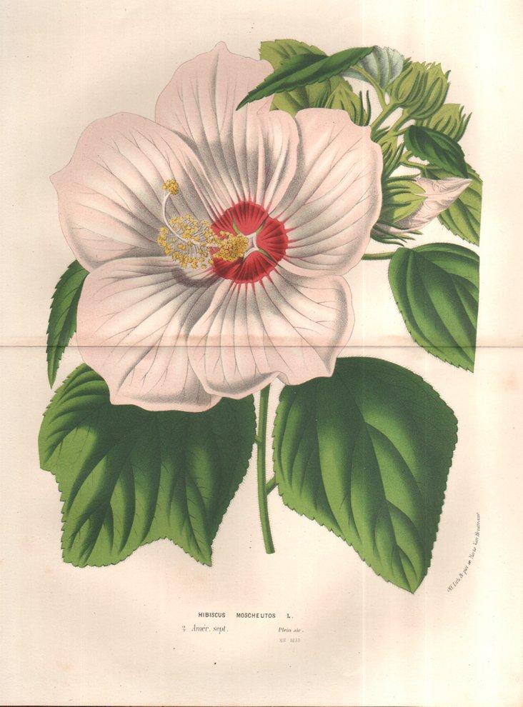 Pink Hibiscus, C.  1860