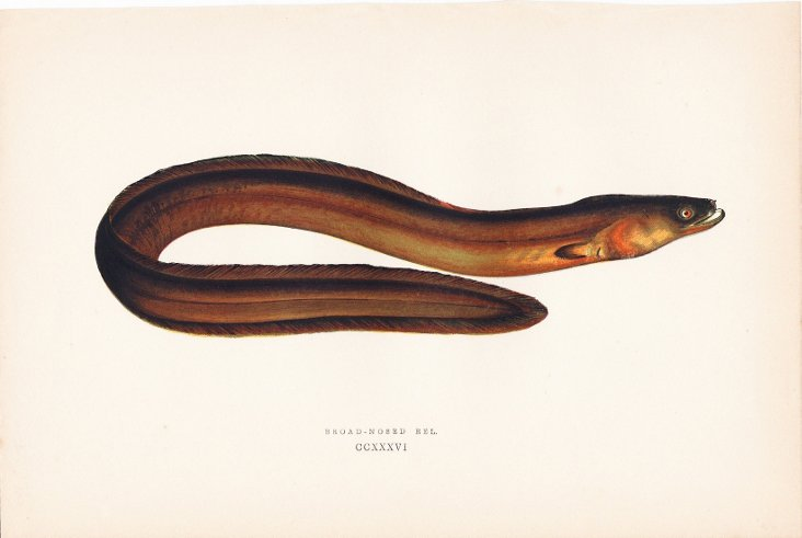 Broad-Nosed Eel, 1878