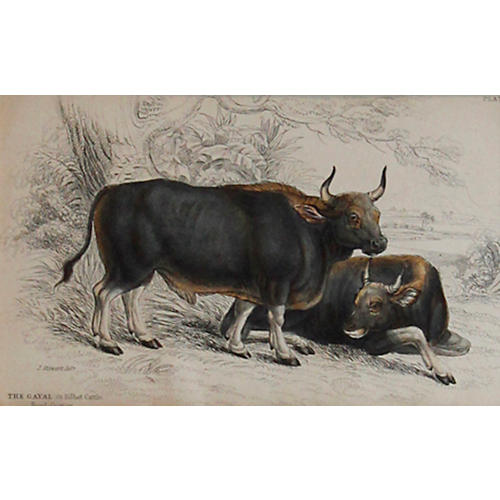 Gayal Cattle, 1843