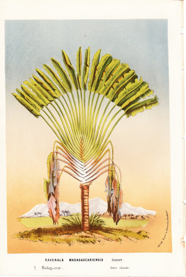 Traveler's Palm, Madagascar, C. 1860