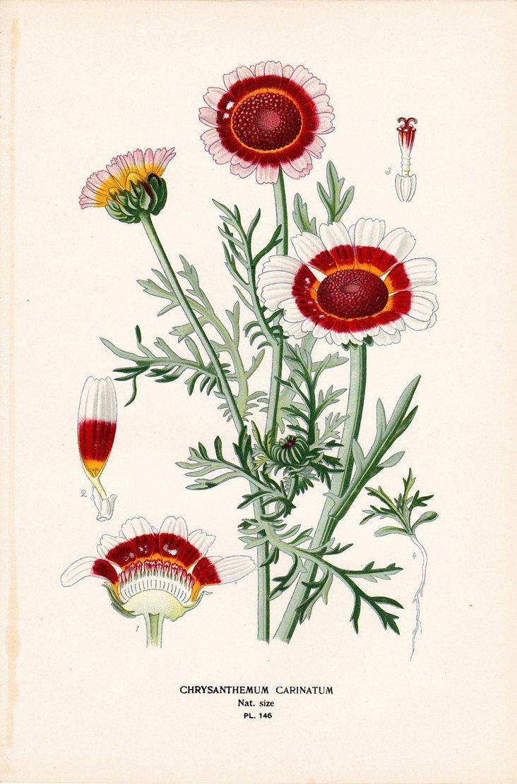 Painted Daisy, 1896
