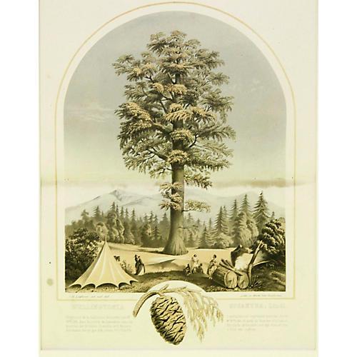 Sequoia Tree, C. 1860