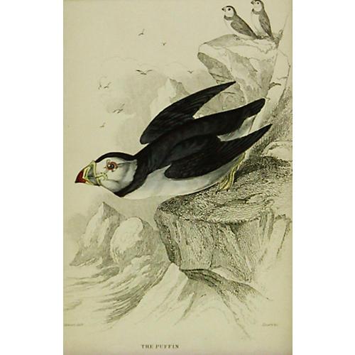 Puffin, 1843