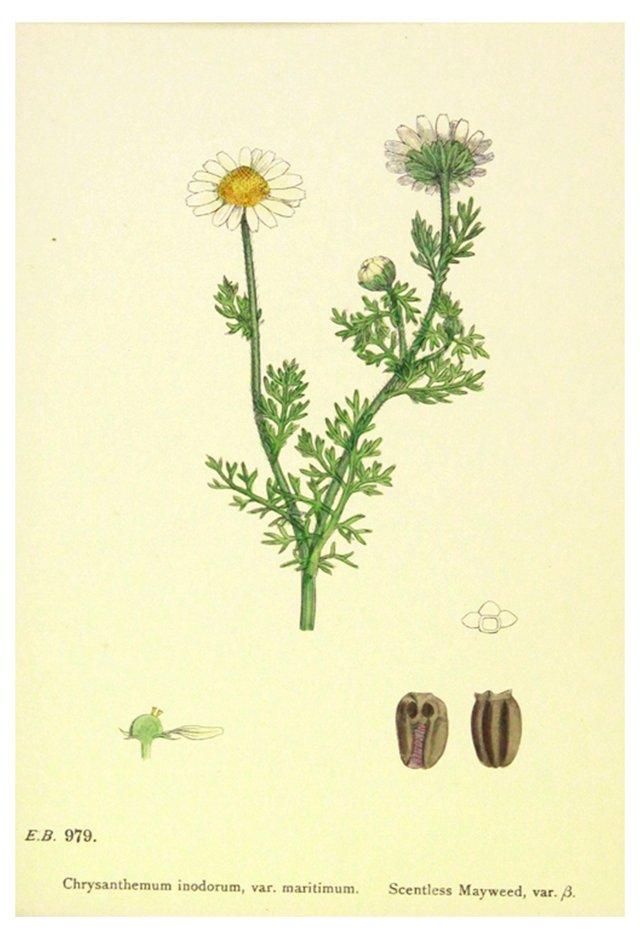 Mayweed, C. 1880