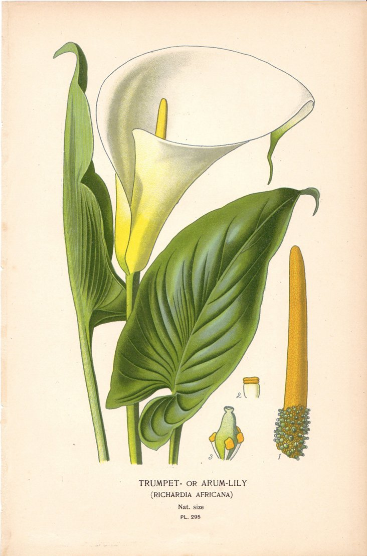 Trumpet Lily, 1896