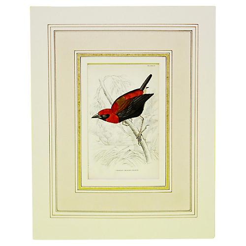 Red Crowned Weaver, 1843