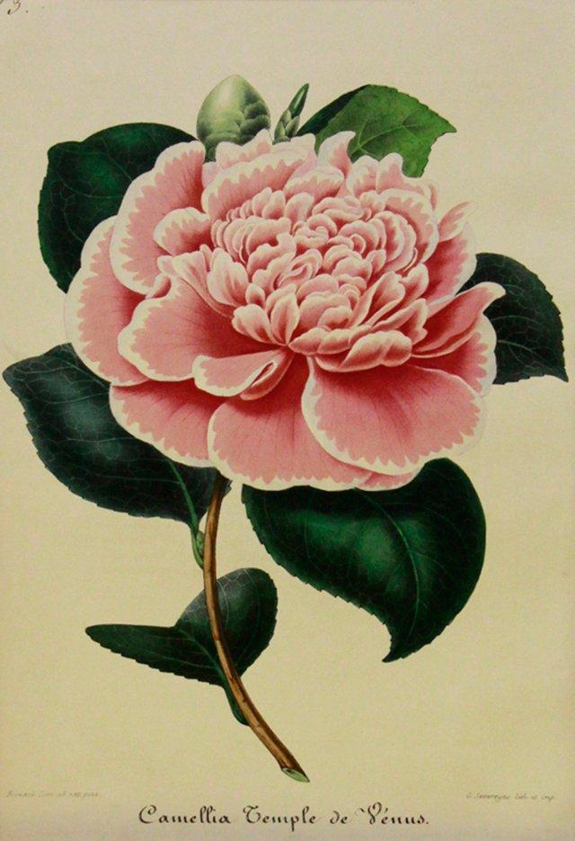 Temple of Venus Camellia, 1854