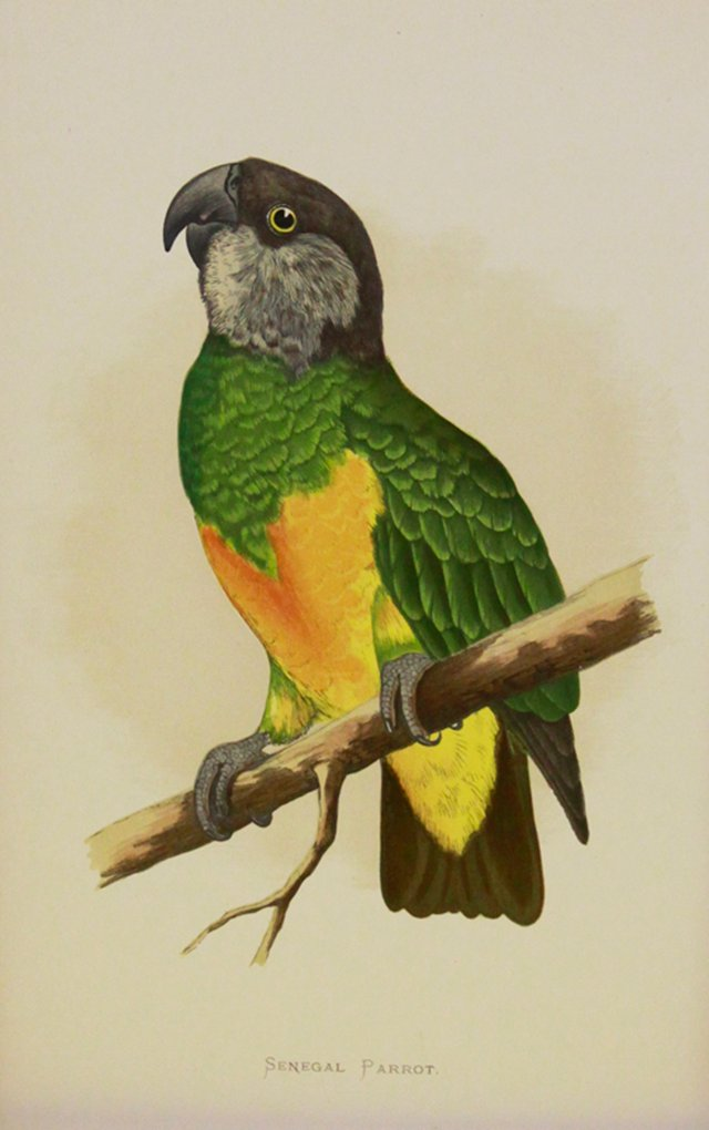 Parrot w/ Green Feathers, C. 1880