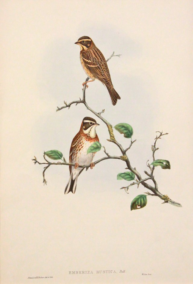 Gould's Buntings on Branch, C. 1860