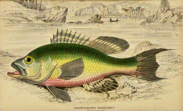 Black Bass, 1843