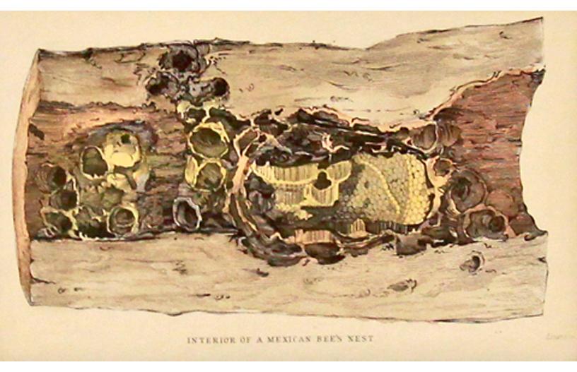Bee's Nest in Tree, 1843