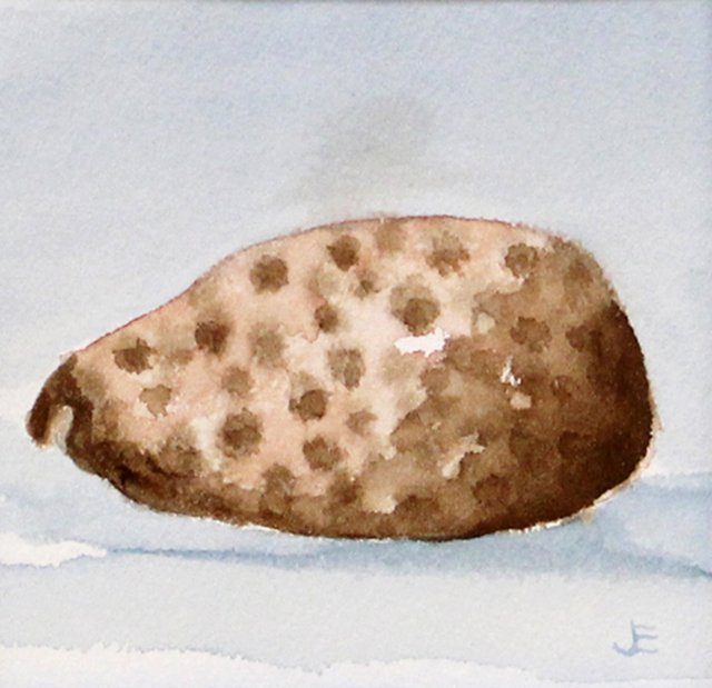 Tortoise Cowry Shell