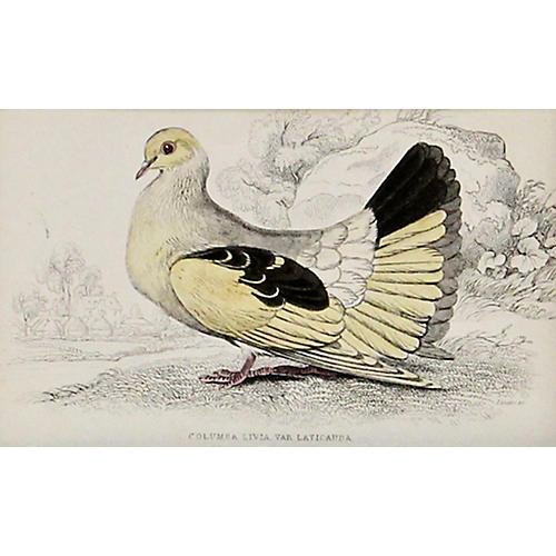 Pigeon, C. 1840