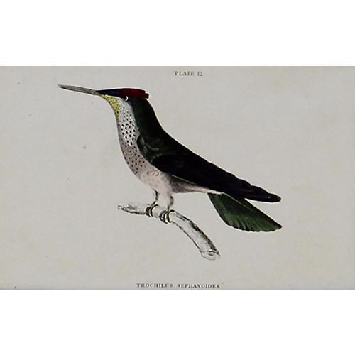 Hummingbird w/ Spotted Neck, 1843