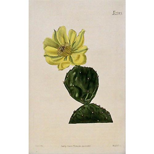 Cactus, 1823