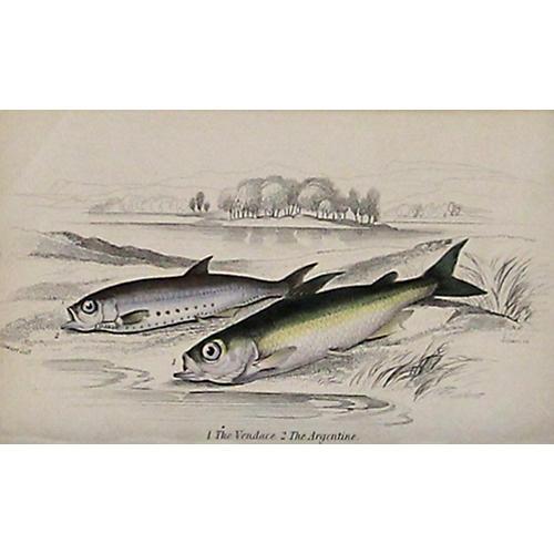 Whitefish & Herring, 1843