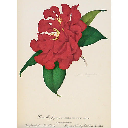 Joseph Pfingstl Camellia, C. 1950