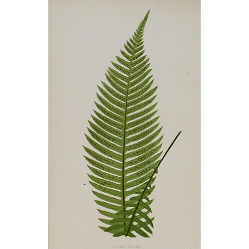 Prickly Rasp Fern, 1872