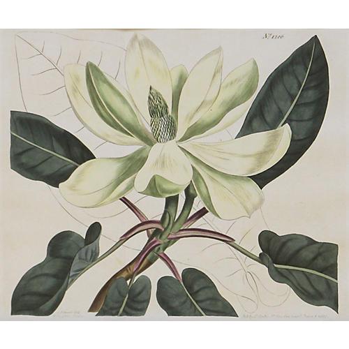 Magnolia, 1809
