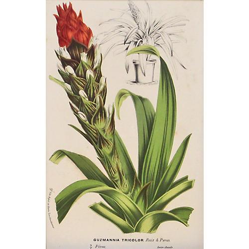 Tricolor Bromeliad, C. 1860