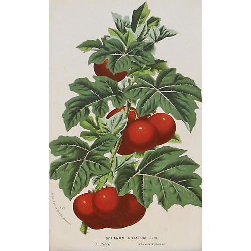 Devil's Apple, C. 1860