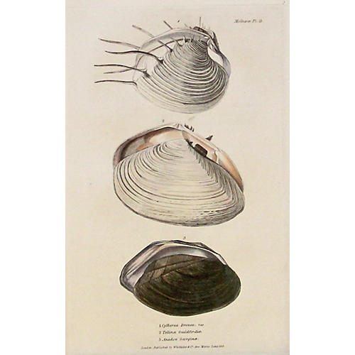 Three Mollusk Shells, C. 1840