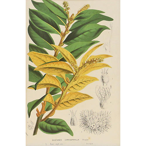 Yellow Botanical, C. 1860