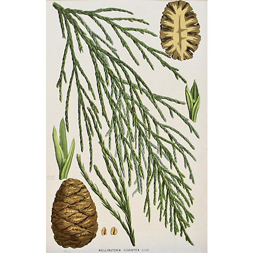 Sequoia Pinecones w/ Branch, C. 1860