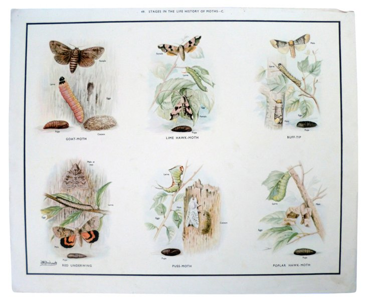 Life Cycle of Moths Poster