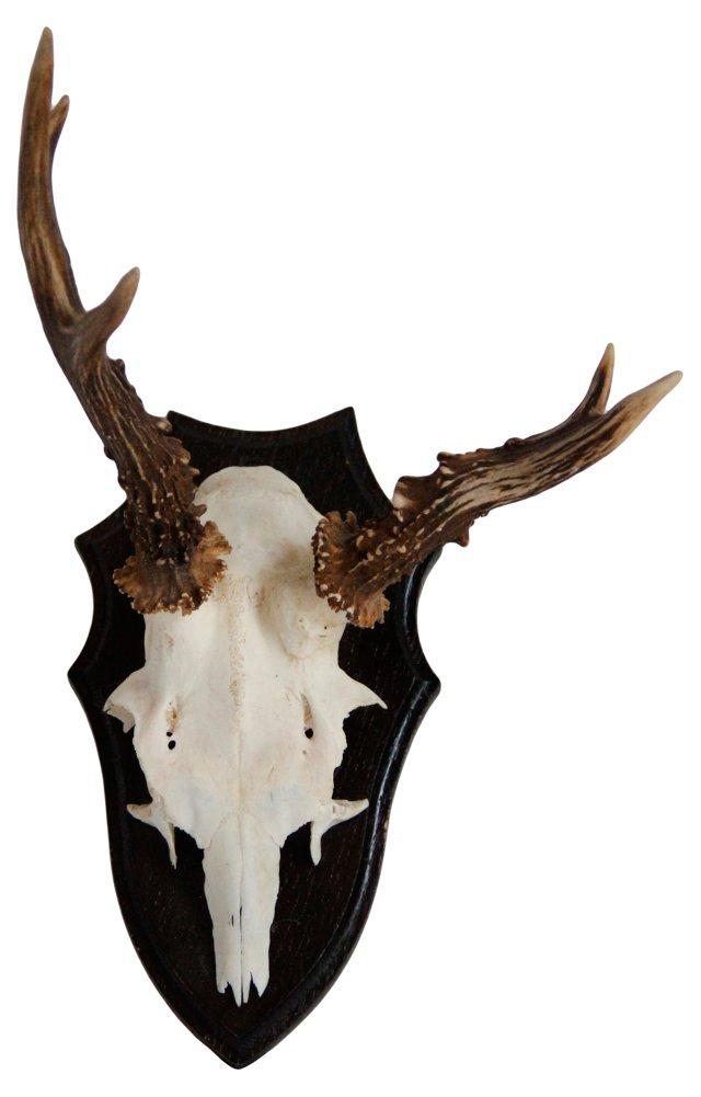 Roe Deer Antler Trophy Mount