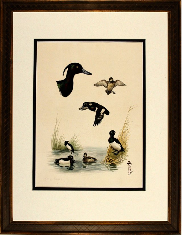Study of Tufted Ducks
