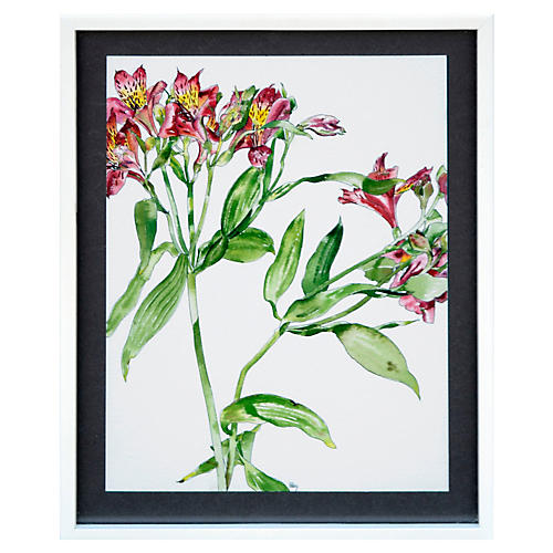 Peruvian Lily in Red