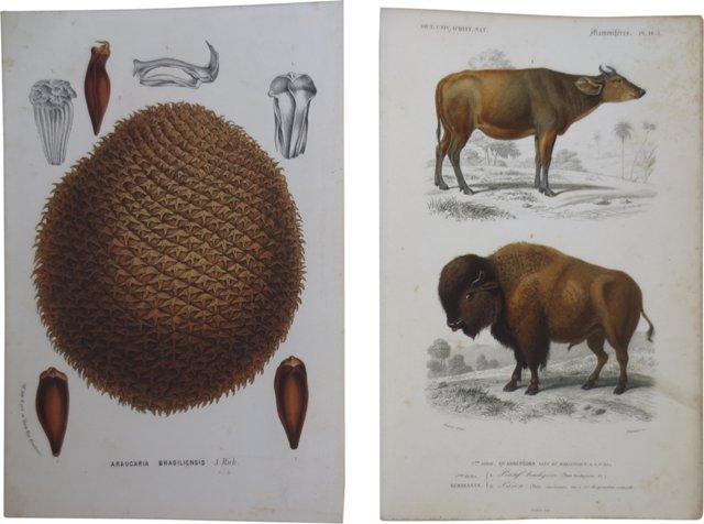 19th-C. Bison Prints, Pair