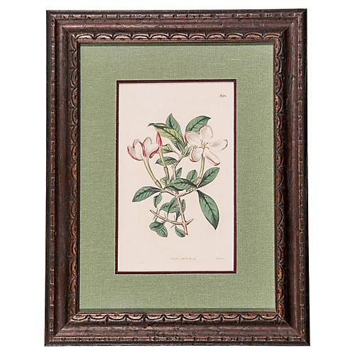 19th-C. Apple Blossom Engraving