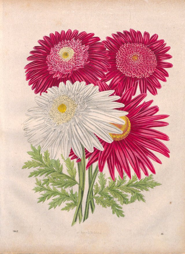 Chrysanthemum, Pyrethrum Roseum, 1867