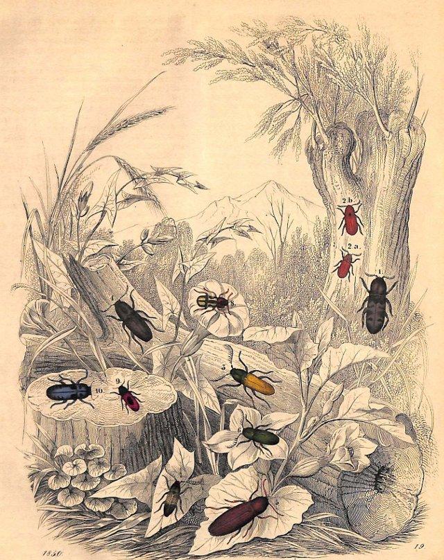 Species of Beetles, 1850