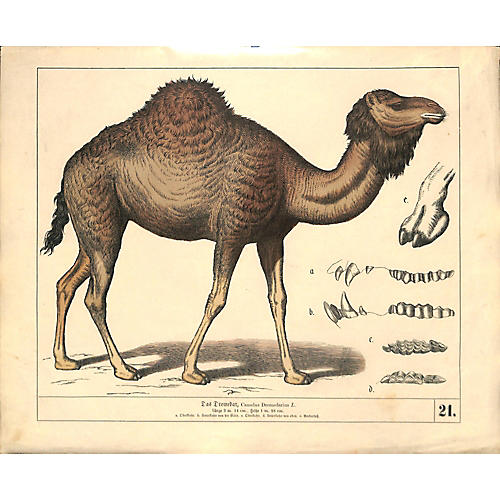 Antique Dromedary Print, 1858