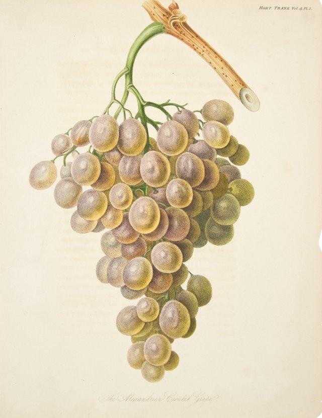 Grape Engraving, 1822