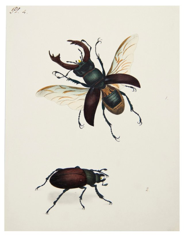 Watercolor of Beetles, C. 1830