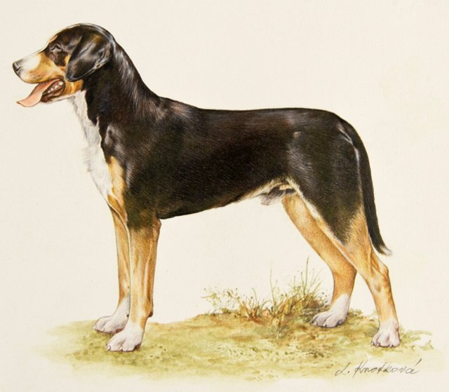 Great Swiss Mountain Dog Illustration